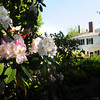 BRYAN EATON/ Staff Photo. The rhododendrons are beginning to bloom at the Moulton Garden at 91 High Street in Newburyport.