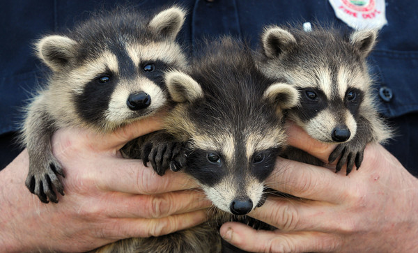 KEN YUSZKUS/Staff photo.  Three of the many raccoons that John Spofford takes care.  5/29/14. He is a Peabody firefighter.