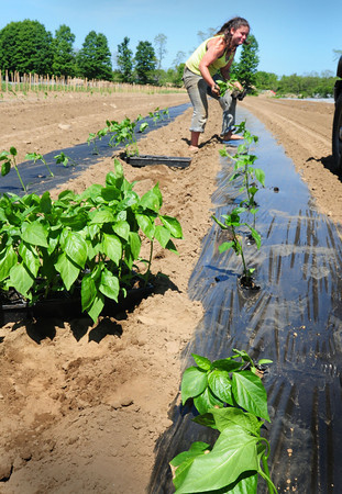 BRYAN EATON/ Staff Photo. Elyse Woodbury of Salisbury, on break from college, transplants pepper plants at Bartlett's Farm in Salisbury. Donna Bartlett said the start of the season has been cool, but the weather is now in their favor with a good rainfall and warming temperatures.