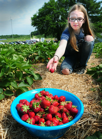 BRYAN EATON/ Staff Photo. Afton Gagne, 10, of Exeter tosses a strawberry into her pail at Cider Hill Farm. She was there with her mom and siblings where they go througout the year for pick-your-own fruits.