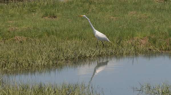 JIM VAIKNORAS/Staff photo An egret hunts in a shallow pond in the salt marsh along rt 286 in Seabrook Friday morning.