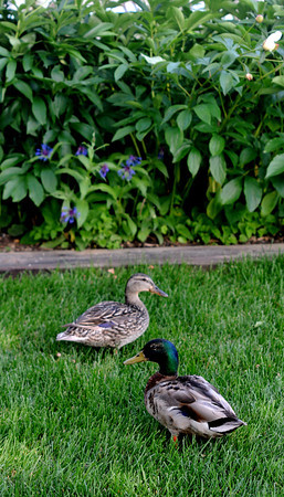 JIM VAIKNORAS/Staff photo  A pair of ducks are fequent visitors to the garden of Jim and Sally Chandler at 417 Main Street in Amesbury.