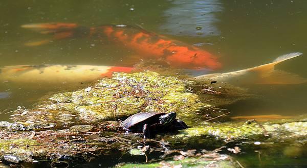 JIM VAIKNORAS/Staff photo A painted turtle basking in the early morning attracts the attention of three large koi fish at the pond in Amesbury Park Sunday morning.