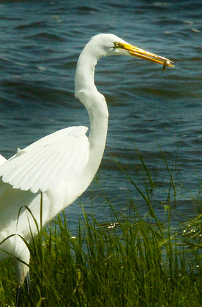 BRYAN EATON/Staff Photo. A great egret holds its lunch that it caught in the grassy edge of the Merrimack River at Joppa Park on Saturday afternoon.