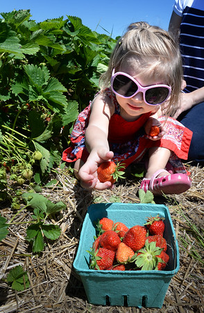 BRYAN EATON/Staff Photo. Wearing her sunglasses from the weekend's plentiful sun Everleigh Anderegg, 2, of Newburyport tosses another strawberry into the box. She was at the Strawberry Festival at Cider Hill Farm in Amesbury with her mother, Angela.