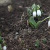 Newburyport: Snow bells push their way through the soil along Fruit Street in Newburyport this weekend, a hopefull sign of spring to come. Jim Vaiknoras/staff photo