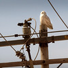 Salisbury: A snowy owl is perched on a utility pole on Beach Road in Salisbury across from the entrance to Salisbury Beach State Reservation yesterday morning. Another was spotted a quarter mile away in the marsh. 100 of the owls have been released at Parker River National Wildlife Refuge after being caught around Logan Airport in Boston. Bryan Eaton/Staff Photo