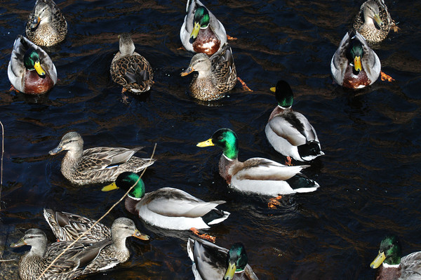 Amesbury: Mallard ducks gather near the bank of the Powow River in Amesbury's Upper Millyard anticipating a handout of food from a passerby. Bryan Eaton/Staff Photo