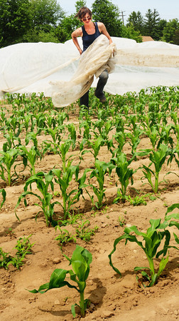 Salisbury: Jess Soucy pulls up the ground cover off the rows of corn at Bartlett's Farm in Salisbury on Monday afternoon. The corn is high enough, and could bend with extended covering, and with the heat forecast for the end of the week the cover isn't needed. Bryan Eaton/Staff Photo