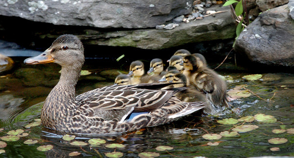 Newburyport: The second duck with her 11 chicks in a fish pond at the courtyard at the Nock Middle School in Newburyport. Bryan Eaton/Staff Photo