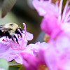 JIM VAIKNORAS/Staff photo A bubble bee gathers nector from a rhododendron on Pleasent Vally Road in Amesbury Friday.