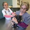 JIM VAIKNORAS/Staff photo Heidi Bassler owner of Bassler Veterinary Hospital in Salisbury gives Dante a flu shot as he is held by Certified Veteranry Technician Dawn DiNocco. Dante, who was very brave , belongs to jen Sheehan.