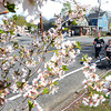 JIM VAIKNORAS/Staff photo A pair of runners in the Spring Fever 5K Run make their way past blossoming trees on High Street in Newburyport Sunday afternoon.