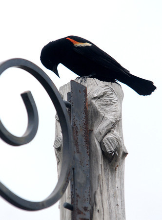 JIM VAIKNORAS/Staff photo A red wing black bird rest on a post near the Parker River in Byfield Sunday morning.