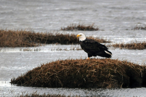 Newburyport: A mature bald eagle scouts his environs in the Merrimack River in Newburyport off Water Street in Newburyport on Monday afternoon. Bryan Eaton/Staff Photo