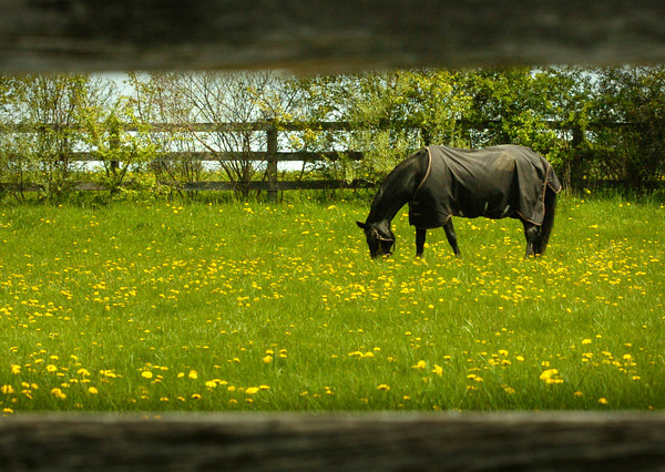BRYAN EATON/ Staff Photo. A horse has his head well into some lush grass and dandelions on South Hampton Road in Amesbury on Thursday morning. The grass should get even greener as rain is expected overnight.