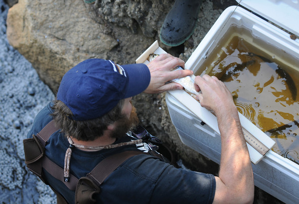 JIM VAIKNORAS/Staff photo <br /> Ben Gahagan tags herring caught  near the fish ladder in Newbury.
