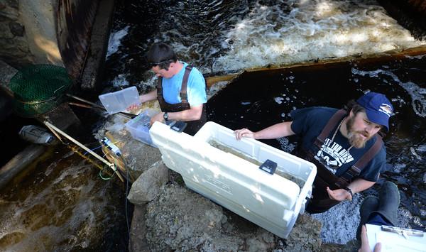 JIM VAIKNORAS/Staff photo Ben Gahgan and Scott Elzey  tag herring near the fish ladder in Newbury.