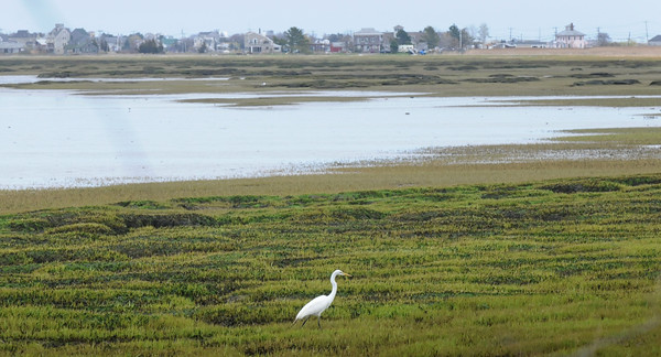 "BRYAN EATON/Staff Photo. A great egret walks in the grass a Joppa Flats in Newburyport looking for food with a view of the ""pink house"" on the Plum Island Turnpike upper right."