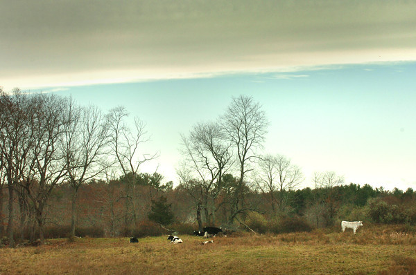 Salisbury: Cattle rest in a field off Congress Street in Salisbury on Tuesday as a blue sky appears to the north. Sun is in the forecast into the weekend with some warming temperatures. Bryan Eaton/Staff Photo
