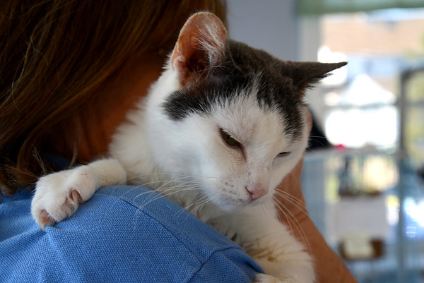 JIM VAIKNORAS/Staff photo Gaye Piechowiak holds Bailey at the Merrimack Valley Feline Rescue Society in Salisbury.