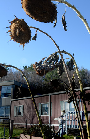 BRYAN EATON/Staff photo. Drooping sunflowers frame a scarecrow in Amesbury Elementary School's garden. Though many of the garden's produce have gone past, there are still cold-weather crops as leeks and Swiss chard.