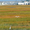Seabrook: Great egrets have been present lately in the marsh off Route 286 in Seabrook. Bryan Eaton/Staff Photo