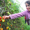 Newburyport: Maia Panthera, 10, and several classmates from the Sparhawk School picked tomatoes at Arrowhead Farm in Newburyport. The take an enrichment excursion to the farm once a week to learn how food grows and is harvested, which they help out with. Bryan Eaton/Staff Photo