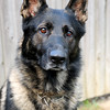 JIM VAIKNORAS/Staff photo Police dog Achilles who lives with Officer Tom Nichols and his family in Amesbury.