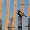 JIM VAIKNORAS/staff photo A finch perhes of a lenth of sea fence at Salisbury Beach Center Monday afternoon.