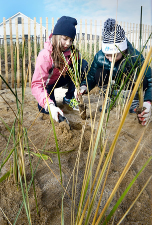 BRYAN EATON/Staff photo. River Valley Charter School sixth-graders planted beach grass at Salisbury Beach north of the Pavilion where some erosion has occured. Maya Cole, 12, left, and Sydney Clausen, 11, put some plugs into the sand and then sprinkled some fertilizer around the base.