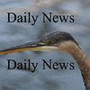 Newbury:Heron on the Upper Green in Newbury.<br /> photo by Jim Vaiknoras/Newburyport  Daily News. Sunday November 8, 2008