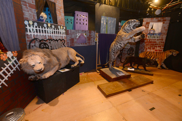 Amesbury: Some of teh big cats on display at the Sparhawk School in Amesbury. Jim Vaiknoras/staff photo