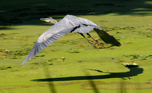 Amesbury: A great blue heron casts a shadow as it glides along the surface of Patten's pond in Amesbury saturday morning. Jim Vaiknoras/staff photo