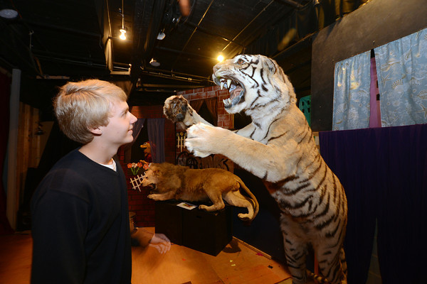 Amesbury: Senior Matt Sharp checks out one of the tiger on display at the Sparhawk School n Amesbury. Jim Vaiknoras/staff photo