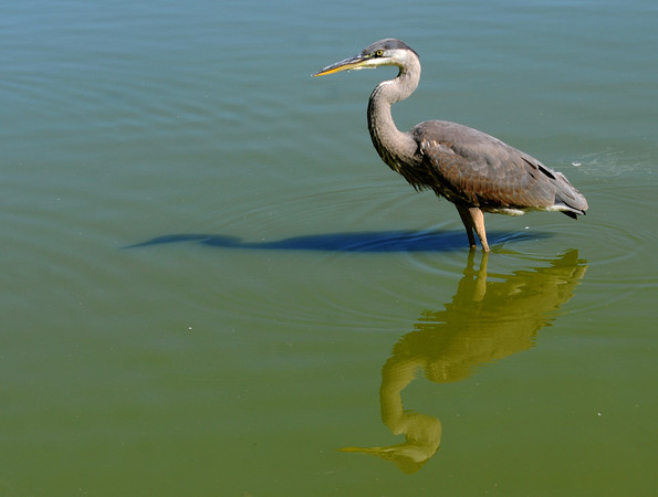 Newburyport: A great blue heron cast a shadow and a reflection as it hunts in eh Frog Pond at the Bartlet Mall Friday. Jim Vaiknoras/staff photo