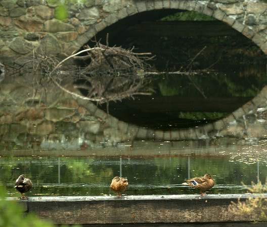 Amesbury: Ducks sit on top of the dam which usually has water running over it in Amesbury's Upper Millyard on Tuesday. Though rain fell during the day, there's not much in the immediate forecast except showers on Thursday. Bryan Eaton/Staff Photo