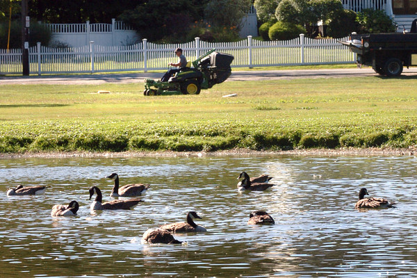 Newbury: Scores of Canada geese have returned to the Frog Pond at Newbury's Upper Green on Wednesday morning as the field was mowed by town employees. Bryan Eaton/Staff Photo