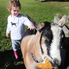 Newburyport: Juliette DePasqua, 2, of Newburyport pets a goat named Appleton as he munches on a bagel at Spencer-Peirce-Little Farm on Tuesday. The children from the Newburyport Montessori School visited the menagerie at the farm run by Historic New England. Bryan Eaton/Staff Photo