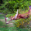 BRYAN EATON/Staff photo. Two deer scramble for cover as a passerby startled them on Tuesday afternoon. They were near the walking trails on Woodsom Farm where dog walkers park.