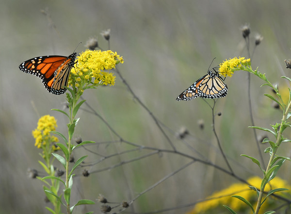 BRYAN EATON/Staff photo. Two monarch butterflies feed on pollen of goldenrods at Salisbury Beach yesterday. They're getting as much food as they can as they soon will beging their migration to Mexico.