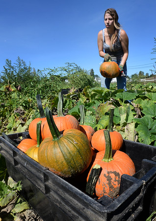 BRYAN EATON/Staff photo. The frost is a long way from being on the pumpkin as the weather has been so nice, though cooling this weekend, but pumpkins in the area are being harvested. Beatriz Barreira, an agricultural exchange student from Brazil, loads some on Locust Street at Bartlett's Farm in Salisbury.