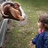 BRYAN EATON/Staff photo. A goat stares down for more food after Gia Campbell, 3, fed him some out of her hand at the Spencer-Peirce-Little Farm in Newbury yesterday. Pre-schoolers from the Bresnahan School in Newburyport took their annual trip there to kick off their unit on Fall, Farm and Harvest.