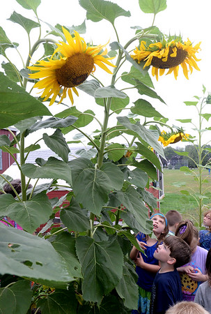 BRYAN EATON/Staff photo. Younsters in Laurel Casali's class at the Amesbury Elementary School check out the sunflowers among other garden delights in the school's garden. They will be writing about their observations in the garden relative to shapes, sizes and colors they noticed.