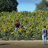BRYAN EATON/Staff photo. Hoards of people continue to flock to the sunflowers at the hill at Hiller Field on Scotland Road in Newbury to take photographs. Despite the severe drought, Colby Farm, which plants the flowers, has been able to tap into a spring to keep the ground moist.