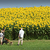 BRYAN EATON/Staff photo. The sunflowers at Hillman Field in Newbury, planted by the adjacent Colby Farm, seems to draw more people every year, some as far away as Vermont.