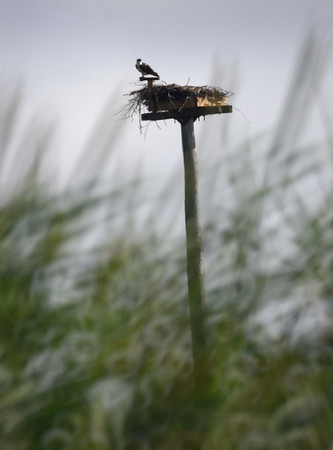 BRYAN EATON/Staff photo. An osprey perched on one of the aeries in the marsh off Ring's Island in Salisbury surveys the area on Thursday.