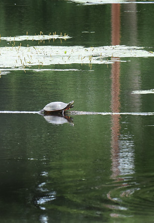 BRYAN EATON/Staff photo. A painted turtle catches the warm air resting on a branch in the pond at Amesbury Town Park on Monday afternoon.