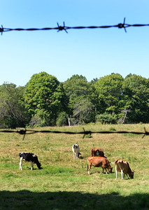 BRYAN EATON/Staff Photo. A half dozen cows graze under a clear sky and cool temperatures at Maudslay State Park not far from the arts center on Monday morning. The weather for the rest of the week is generally sunny and warms up into the weekend.