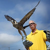 BRYAN EATON/Staff Photo. Former biology teacher at Triton Regional High School Dave Taylor releases a peregrine falcon at the parking lot at the Wilkinson Bridge on the Plum Island Turnpike. The raptor was found in the Merrimack River near the old Black Cow possibly chasing a pigeon, when it hit the water soaking its down feathers preventing it from flying.
